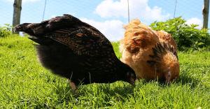 Vaccinated chicken free ranging