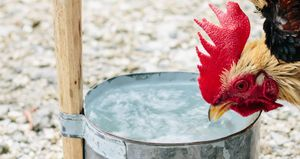 A rooster drinking fresh clean water