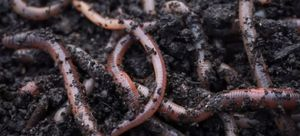 Earthworms raised for chickens