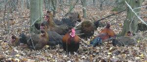 a flock of Altsteirer chickens