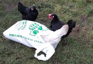 how much and how often to feed your chickens.