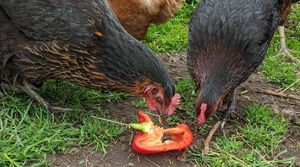 Some of my chickens eating treats