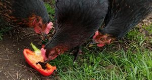 Some of my chickens eating peppers