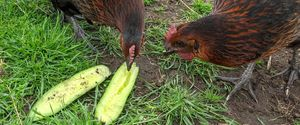 My chickens eating cucumbers