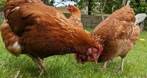 Cinnamon queen chickens eating while free ranging