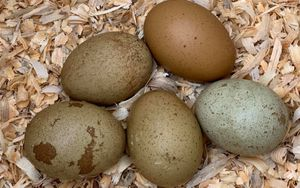 A nest with olive green eggs