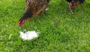 My chickens eating yoghurt